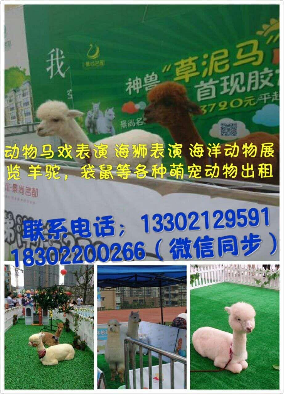 尖山区羊驼租赁动物展览