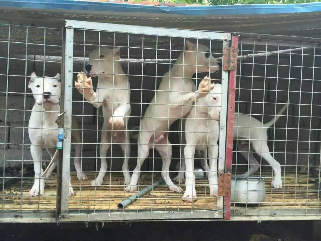 高加索幼犬图片犬图片