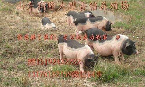 荷兰小香猪可爱图片