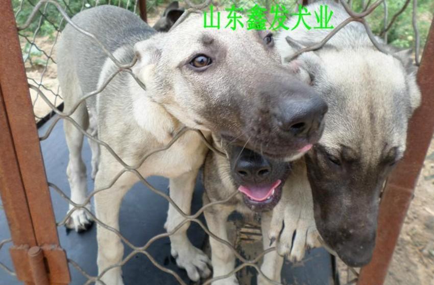 莱州红犬价格大同小杜高犬价格卡斯罗幼犬价格狼青犬价格