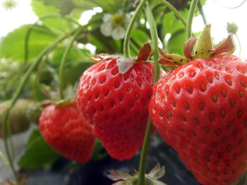 草莓苗新品种 章姬 红颜草莓苗批发