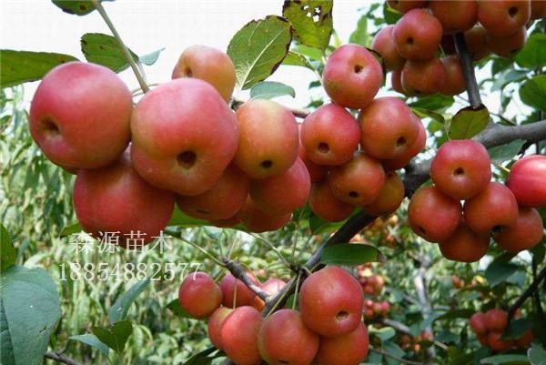新品种苹果树 贵人果海棠嫁接树苗 贵人果苗 北美之王树苗 北美树苗 新品种苹果树 贵人果海棠嫁接树苗新品种苹果树 小苹果树苗 详细咨询电话:15552801799 QQ:630909530 贵人果: 两年结果,三月中旬开花,四月份进入盛花期,繁花似景,具有极大的观赏价值,新叶红色有光泽然而逐渐变为绿叶,叶子尖、成锯齿状,花后挂果,座果即成艳红色,九月份果个长足,果子直径5cm左右,红色红遍全身,外观带有亮如镜的粉蜡,果实微酸可口,小雪前后落果,现在贵人果市场价值极高。是
