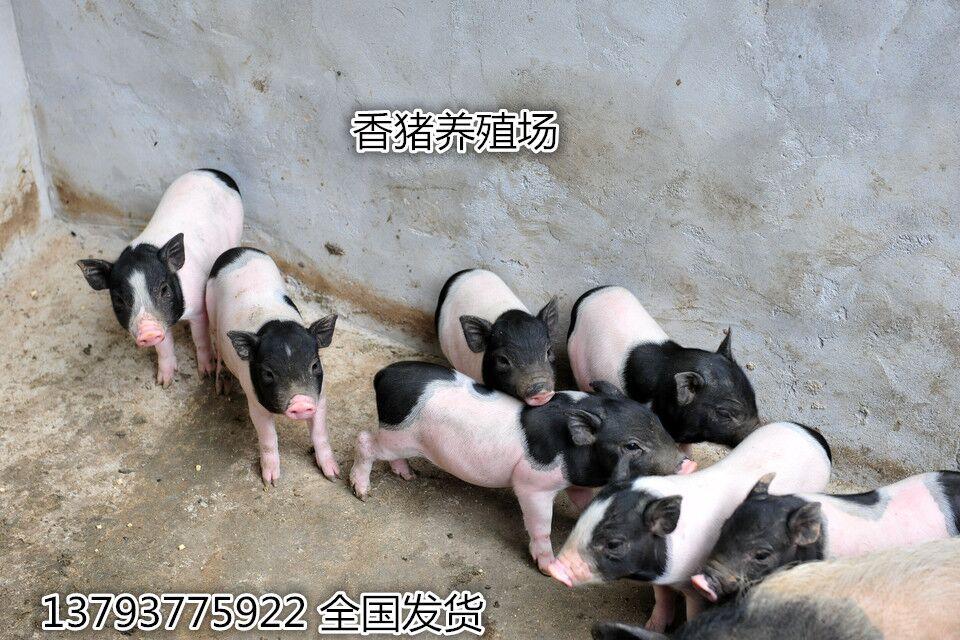 资阳 巴马香猪养殖场——