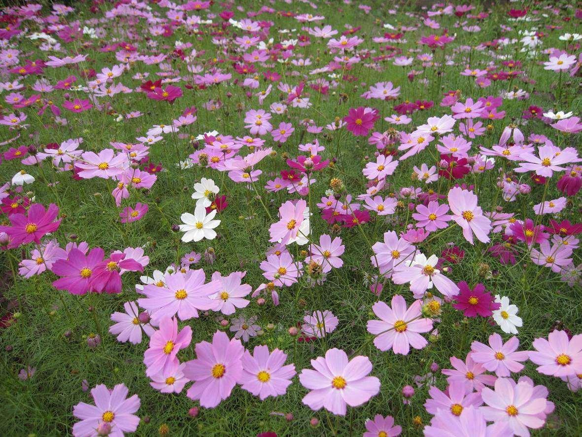 青州梓诺花卉 出售 荷兰菊 太阳花 扶芳藤等草花及各种绿化苗