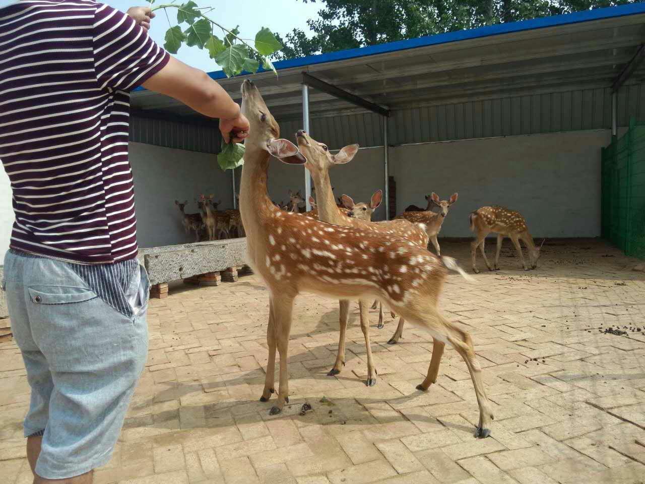 泉州动物园专用梅花鹿