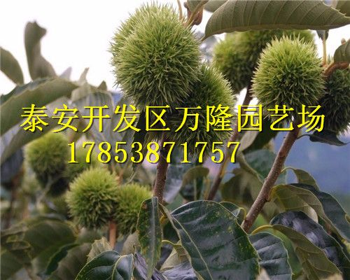 板栗盆栽步骤图片说明