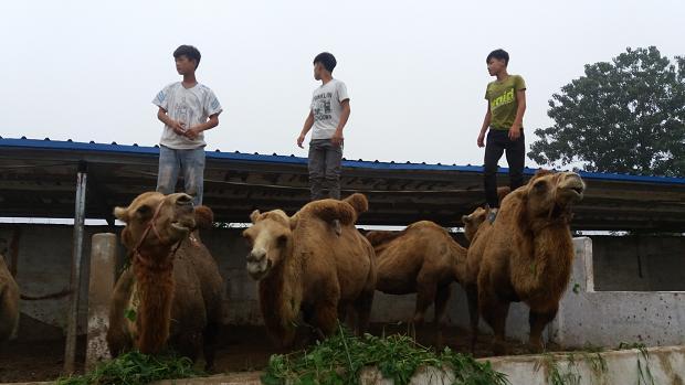动物  刚开始养骆驼那年三十岁,81年出生的张福乾2007年辞掉了青岛
