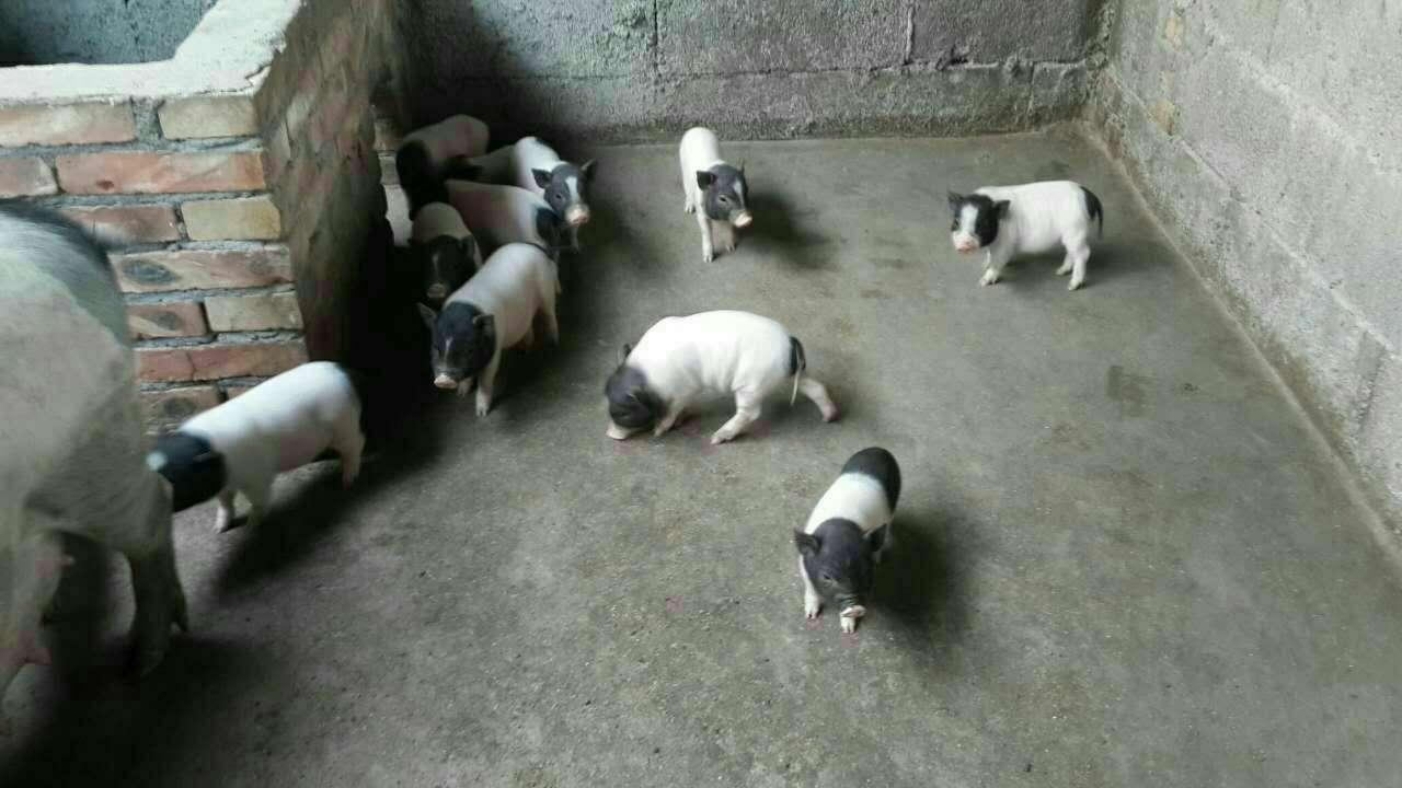 绵阳 巴马香猪养殖场——