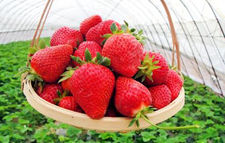 美十三草莓苗专业供应 果实大品质好.肉质酸甜,果肉硬度大