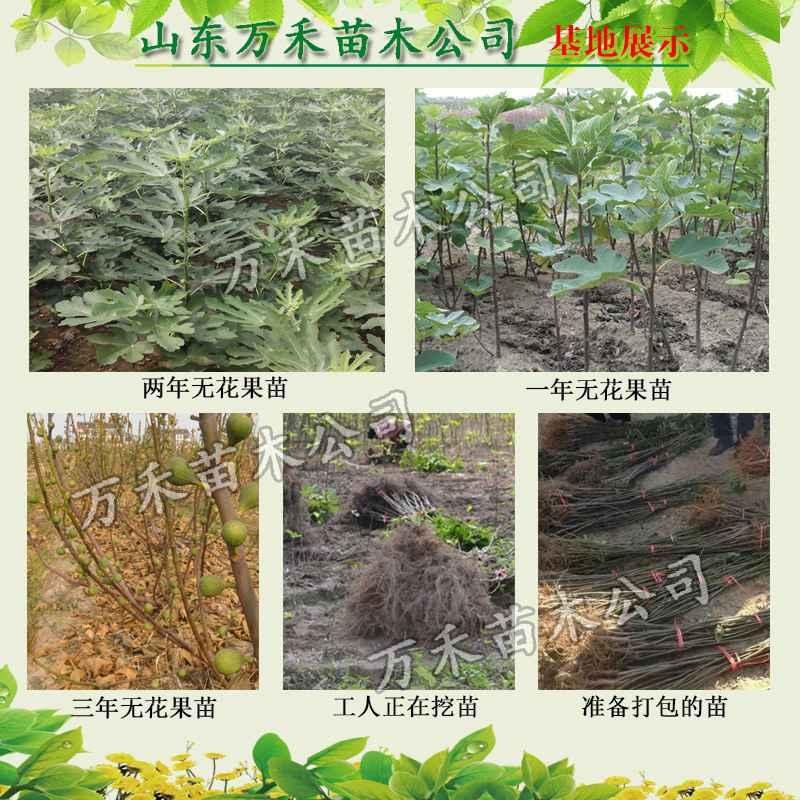 栽种后要培养树冠形成无层形树形,或多主技自然开心树形,一般可在树干