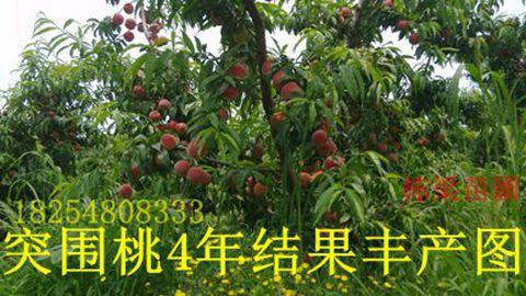永莲蜜桃桃树苗中油4号桃树种苗苗木基地毛桃种苗