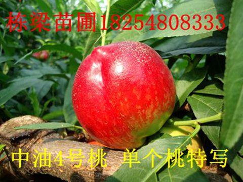 桃树品种苗红不软桃树苗红不软桃苗 桃树苗价格 桃树苗基地