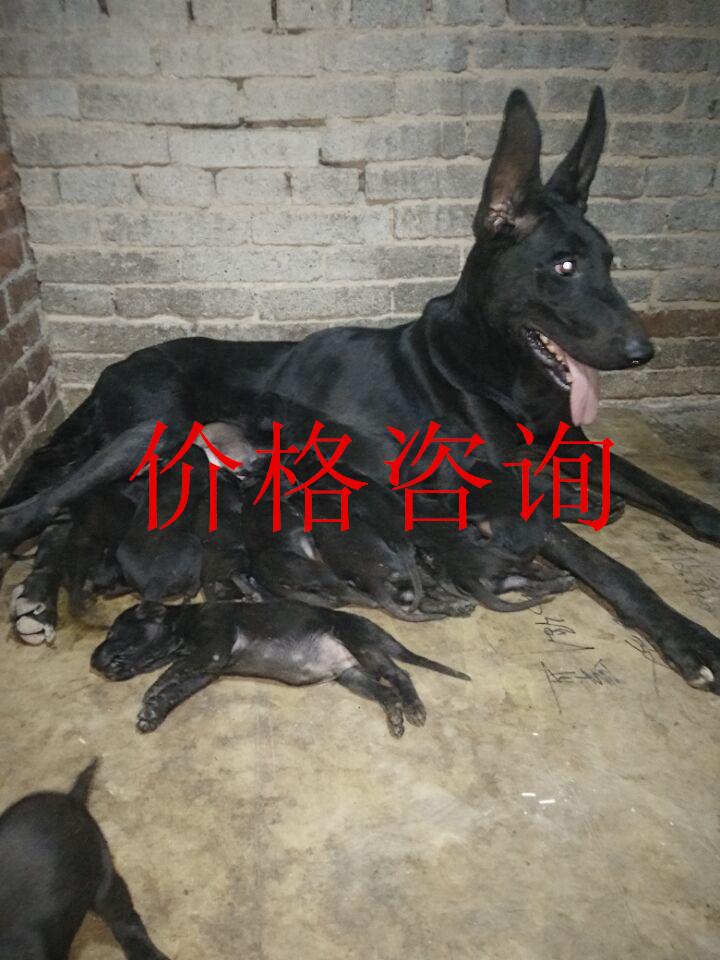 绵阳 黑狼犬幼犬哪里有卖的
