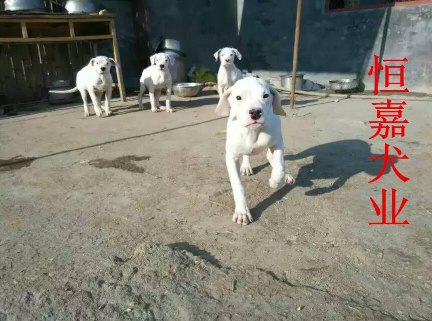 偷拍自拍狼国成人网_杜高犬, 马犬,比特斗狗,惠比特,牧羊犬,日本狼青犬,带活格力犬,格力