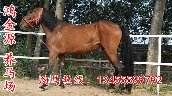优质骑乘马养殖基地