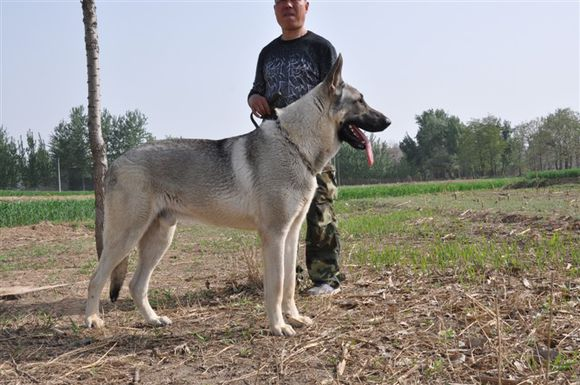 白城狼青现在价格两个月狼青价格 白城狼青现在价格两个月狼青价格;155544469679 山东兴瑞猎犬养殖常年出售,狼青犬、狼青幼犬、德国牧羊犬,黑背,马犬,犬,婪、斗狗、杜高犬、比特犬,莱州红犬,等各种名犬及品种。 欢迎广大爱犬者前来选购,可以当场试活,满意付款,免费办理检疫手续、办理托运。打造有实力的特种养殖行业、保证 信誉 为照顾外地朋友没有时间到本场购买的,我们可以办理空运、客运、托运 免费办理检疫手续送货到各地、到家试活不满意可以退货、换货。 我场将一贯坚持,信誉,服务的工作原则,进一步完善和