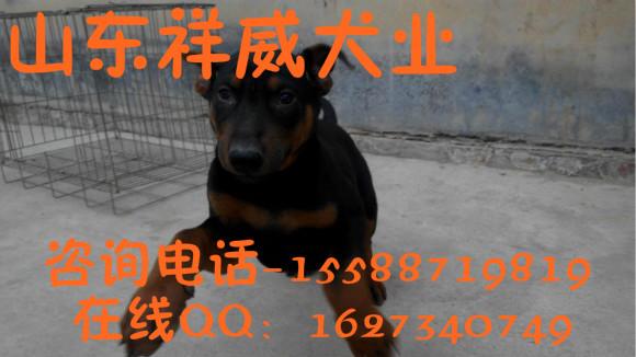 秦皇岛有卖黑狼犬的吗