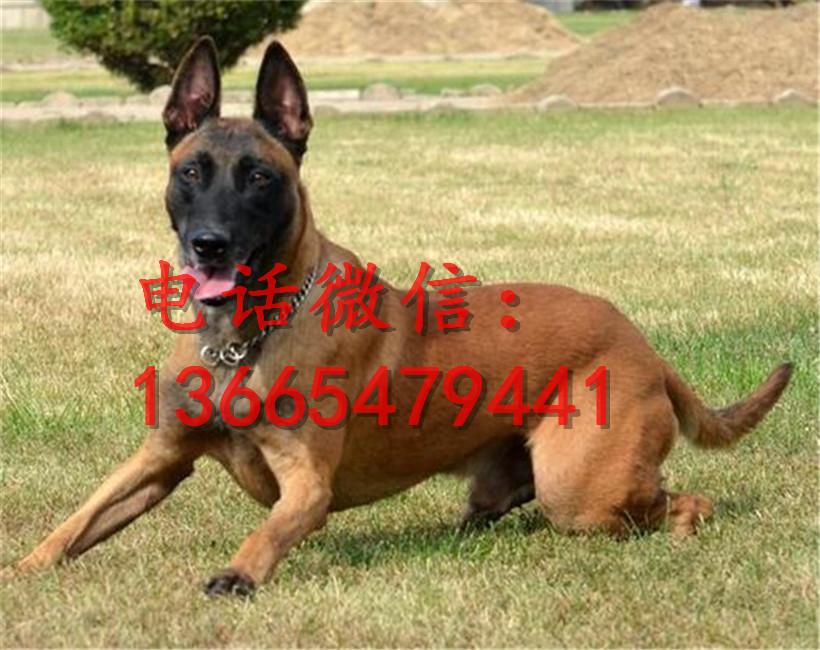 格力犬狗种小包配种_苏州2-3月的格力犬小狗价格_格力犬价格_山东省兴盛犬业