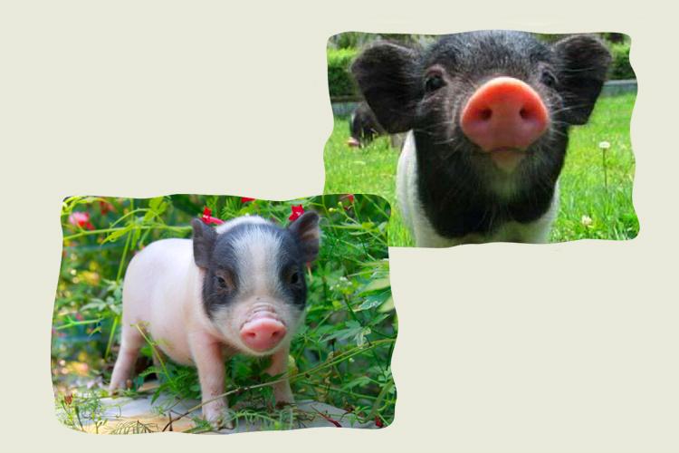 小香猪图片大全可爱 图片