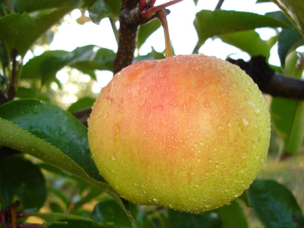 金秋香梨一般的梨树3~5年才会挂果,而金秋香梨当年栽植当年便可开花