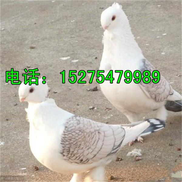 蛇头种鸽多少钱一对 下蛋的蛇头鸽