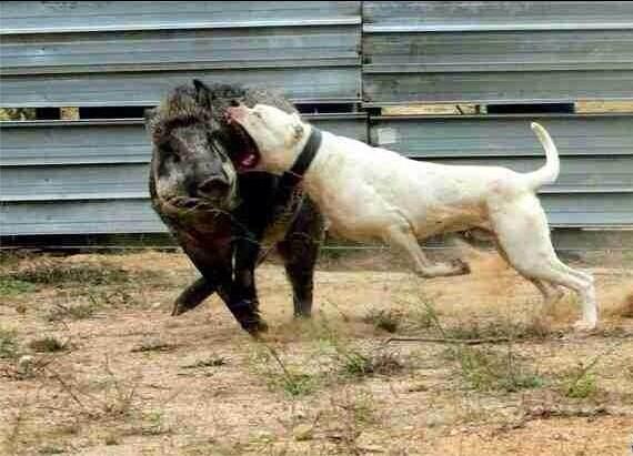 哪里有杜高犬恶霸犬的杜高犬照片养殖场