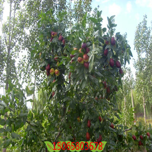 山东枣树苗基地金芒果枣树苗十年良苗出售