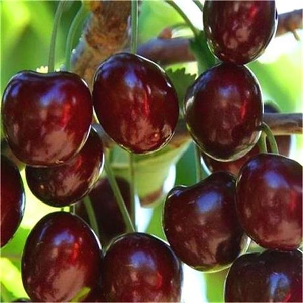 贵州吉赛拉矮化大樱桃树苗价格