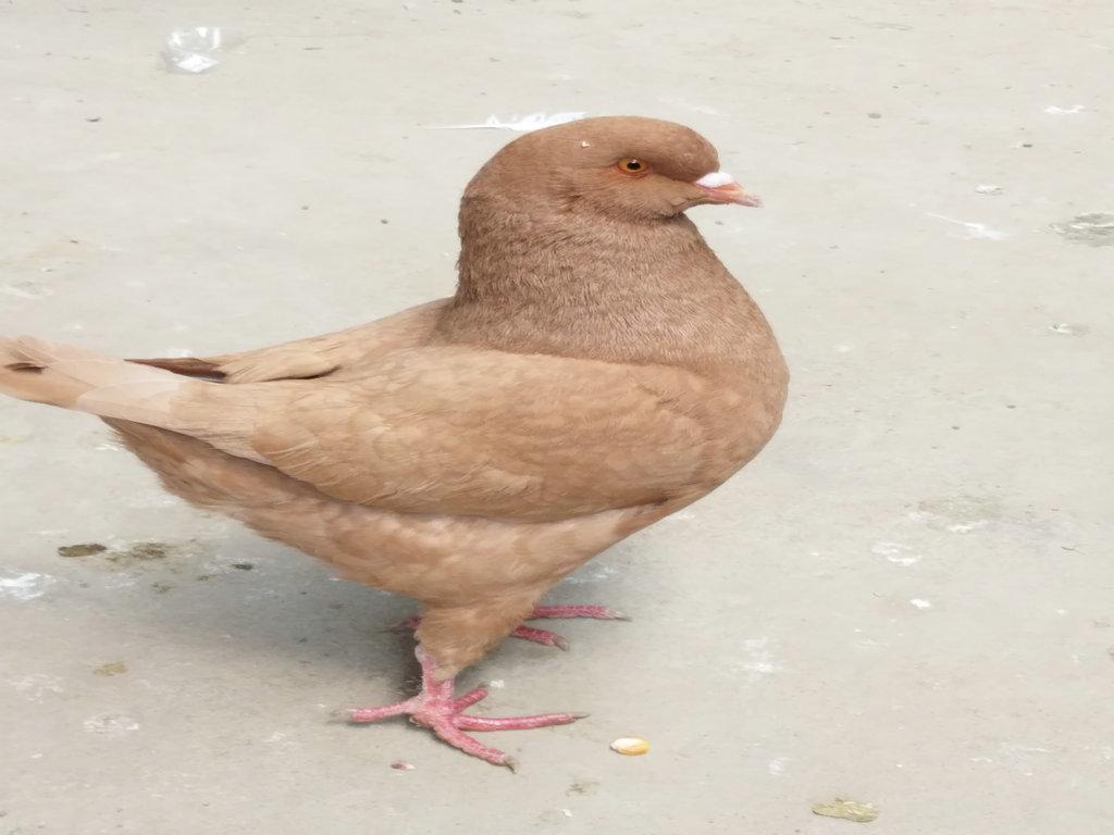 哪里卖雨点燕子观赏鸽 丹东肉鸽 观赏鸽图片