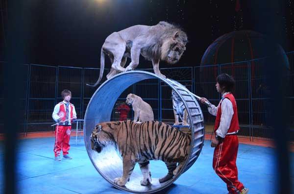 马戏团虐老虎,表演时昏阙拽尾巴泼冷水,引家长集体抗议