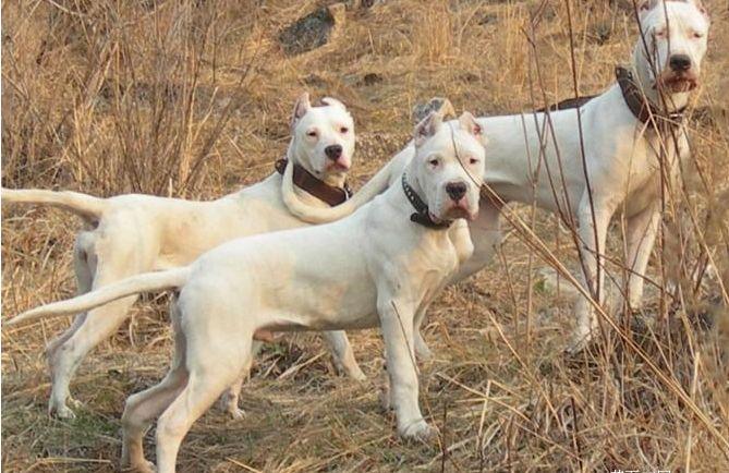 杜高养殖场,哪里有卖 杜高犬价格 杜高犬视频 杜高犬养殖场