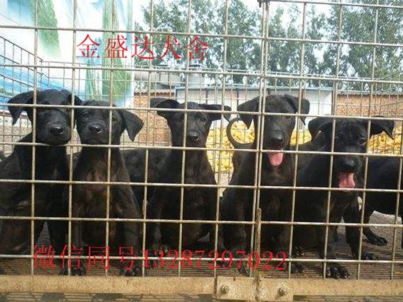 湖北省养黑狼犬的最大狗场