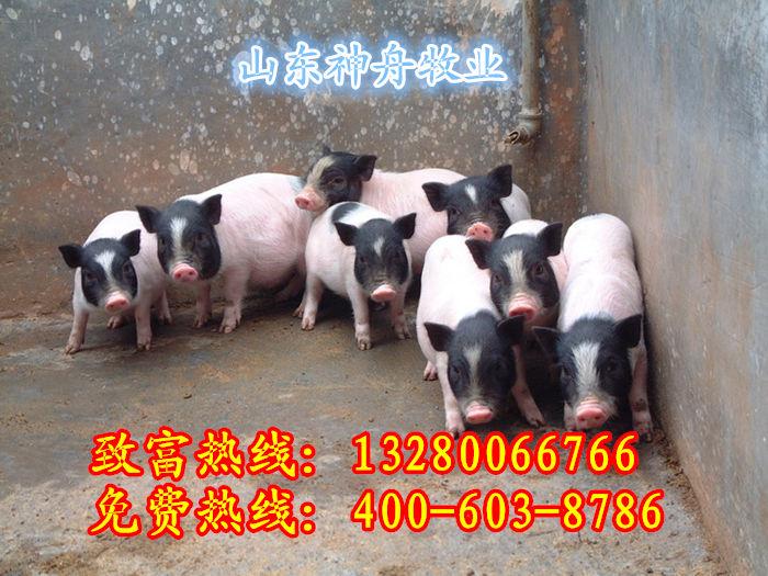 巴马香猪养殖基地成都香猪批发