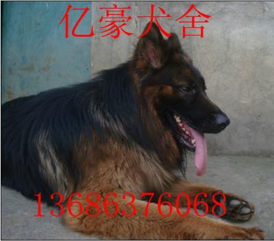 偷拍自拍狼国成人网_龙岩市中国牧羊犬图片及价格