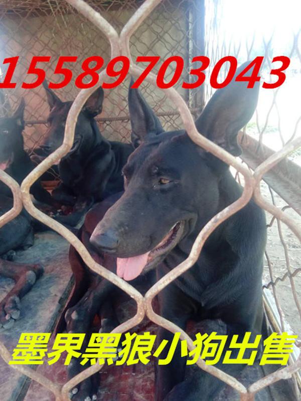 凌河区中华黑狼小狗多少钱一只