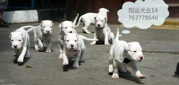 内蒙古省通辽市杜宾幼犬价格 可以在楼房养么