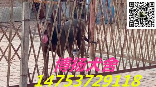 远安县纯种莱州红幼犬价格