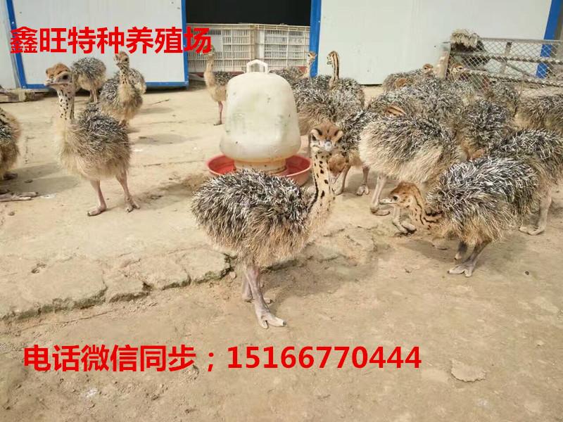 恩平非洲鸵鸟苗养殖成本 珍禽动物 价格