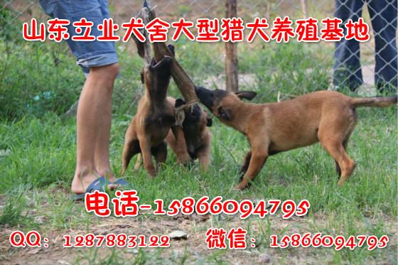 茂名半年莱州红犬幼犬多少钱一只