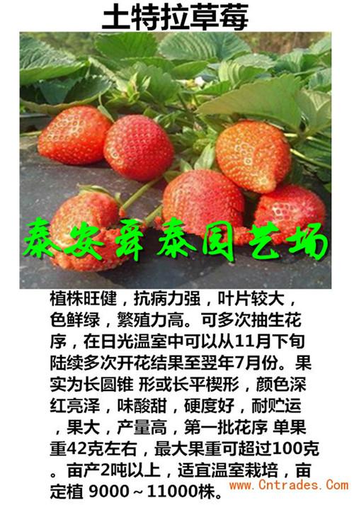 红颜草莓果实特点