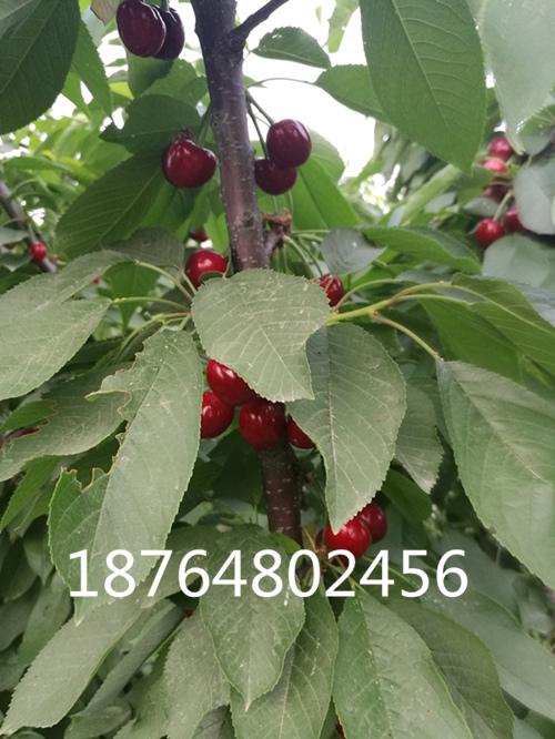大连红灯笼初中苗价格四年景色树苗_泰安高新描写樱桃作文樱桃图片