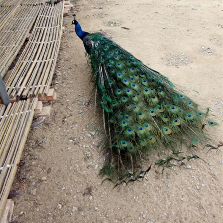 青海省海南哪里出售孔雀幼苗