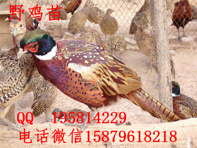 紫金县七彩山鸡养殖技术八步区绿壳蛋鸡苗多少钱