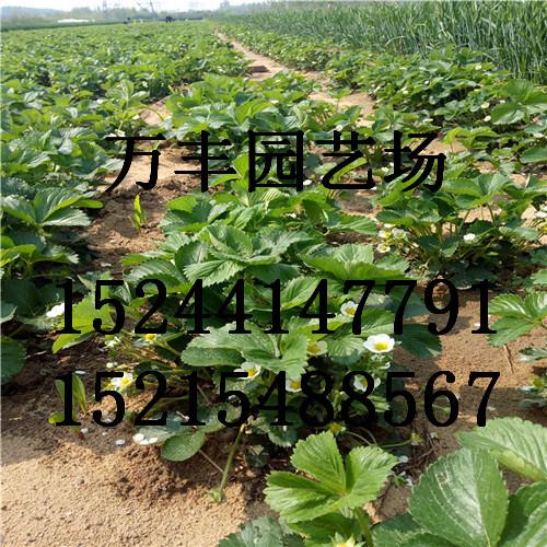 恩施土家族苗族自治州鹤峰章姬草莓苗种大棚什么品种好