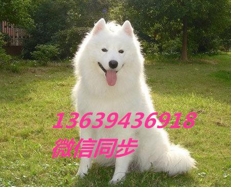 蓝山县曲水萨摩耶犬的行情电话