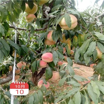 秋雪桃树苗多少钱一棵秋雪桃树苗新品种