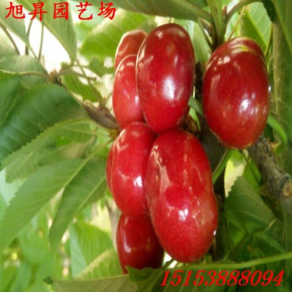 金昌自产自销樱桃树一亩产量多少_泰安开发区