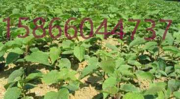 桃树苗、苹果苗,核桃苗、草莓苗、吉塞拉矮化大樱桃苗(车厘子大
