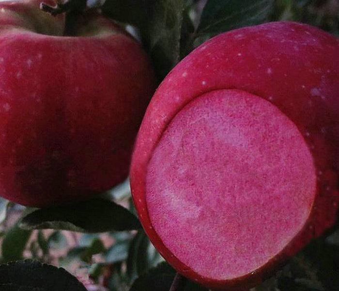 寒富苹果树多少钱一棵