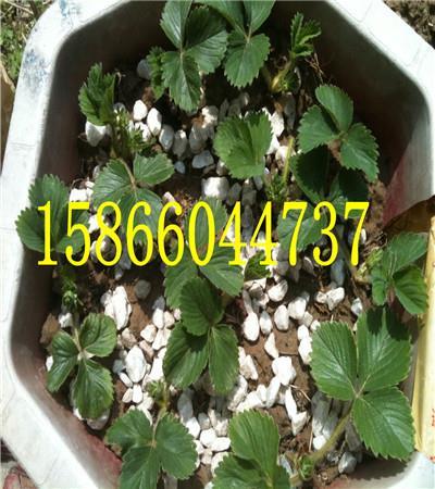 大棚草莓苗哪里卖。报价